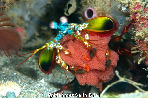 Mantis shrimp with eggs. by Mehmet Salih Bilal 